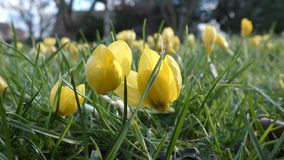 Beautiful yellow flowers. London. England. United Kingdom. Spring flowers of urban gardens and parks stock video footage