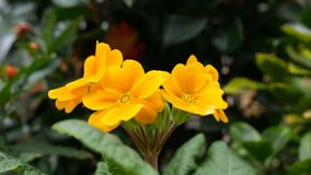 Beautiful yellow flowers. London. England. United Kingdom.  Flowers of urban gardens and parks stock video footage