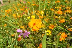 Yellow cosmos flowers in the meadow Stock Images