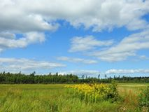 Field, flowers and cloudy sky, Lithuania. Beautiful yellow flowers, meadow and nice cloudy sky in summer Stock Photography