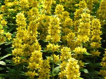 Beautiful yellow flowers in park, Lithuania Royalty Free Stock Photos