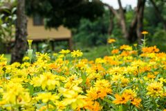 Beautiful yellow flowers Planted in the garden. stock images
