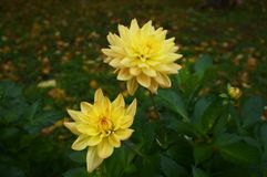 Beautiful yellow flowers with raindrops on petals royalty free stock photo