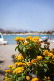 Beautiful yellow flowers on sea view background. Alcudia, Mallorca Royalty Free Stock Photos