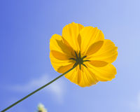 Beautiful yellow flowers on a sky background Royalty Free Stock Images