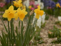 Beautiful yellow flowers. On spring with blurred background Stock Images