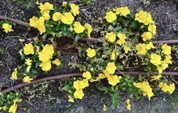 Beautiful yellow flowers sprouting royalty free stock photography