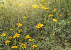 Beautiful yellow flowers with sun light.Spring background Royalty Free Stock Image