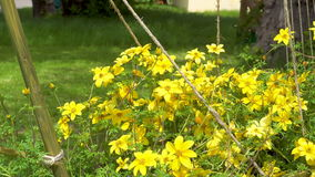 Beautiful yellow flowers swaying in the wind. Close up shot. 4k shot stock video footage