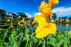 Beautiful yellow flowers at tropical resort stock photo