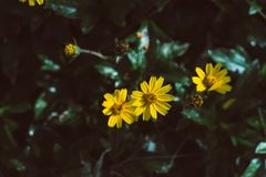 Beautiful yellow flowers. With vintage Stock Photos