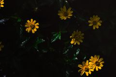 Beautiful yellow flowers. With vintage. dramatic style Stock Images