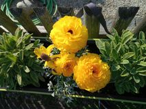 Beautiful yellow flowers in a wooden fence closeup stock image