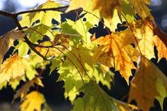 Beautiful yellow foliage of autumn maple Stock Photo