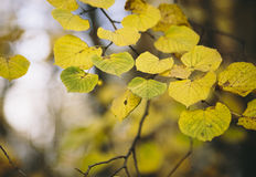 Beautiful yellow foliage . Royalty Free Stock Images