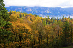 Beautiful yellow forest autumn in Columbia River Gorge Recreatio Royalty Free Stock Images