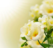 Beautiful yellow freesia background.Blooming freesia flowers on Royalty Free Stock Photography
