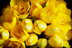 Beautiful yellow freesia Stock Image