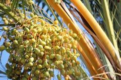 Beautiful yellow fruits of date palm. Stock Photo