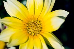 Beautiful yellow gazania flower with drops of rain dew in the garden. royalty free stock photo