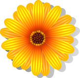 Beautiful yellow Gerber Daisy Royalty Free Stock Photography