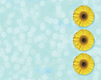 Beautiful yellow Gerber flower blossom in circle isolated on light blue background Royalty Free Stock Photography