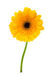 Beautiful yellow gerbera. Isolated on a white background stock image