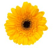 Beautiful yellow gerbera royalty free stock images