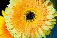 Beautiful yellow gerbera Royalty Free Stock Photos