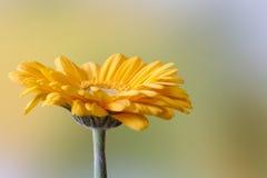 Beautiful yellow gerbera Stock Photography