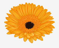 Beautiful yellow gerbera isolated on white background . Stock Photography