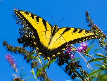 Beautiful Yellow Giant Swallowtail Butterfly On A Flower. In The Deep Blue Sky stock photos