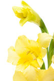 Beautiful yellow gladiolus closeup Stock Image