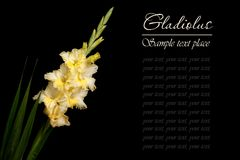 Beautiful yellow gladiolus isolated on a black Royalty Free Stock Photography