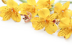 Beautiful yellow gladiolus on white background Royalty Free Stock Photography