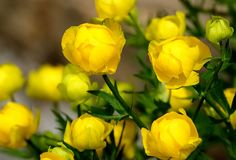 Beautiful yellow Globeflowers European. Flower of the red book. Beautiful yellow Globeflowers European Ranunculaceae. Flower of the red book. Wild meadow plant royalty free stock image