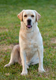 Beautiful Yellow Golden Labrador Stock Images