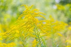 Beautiful yellow goldenrod flowers blooming Stock Images