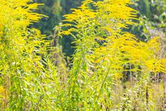 Beautiful yellow goldenrod flowers blooming Royalty Free Stock Photo
