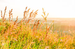 Beautiful yellow grass Royalty Free Stock Images