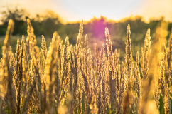 Beautiful yellow grass Royalty Free Stock Image