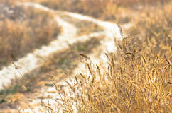 Beautiful yellow grass near a dirt road Stock Image