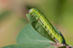 Beautiful yellow-green caterpillar on a green leaf Stock Photos