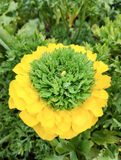 Beautiful yellow and green flower in the garden Stock Photo