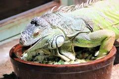 Beautiful yellow-green lizard in the terrarium of the Prague Zoo. stock photo
