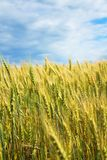 A beautiful yellow, green wheat field, against a background of blue sky. Ripe grain and beauty of nature Royalty Free Stock Photography