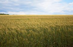 A beautiful yellow, green wheat field, against a background of blue sky. Ripe grain and beauty of nature Royalty Free Stock Image