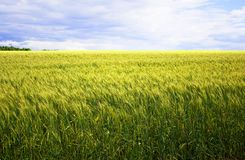 A beautiful yellow, green wheat field, against a background of blue sky. Ripe grain and beauty of nature Royalty Free Stock Photo