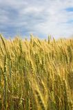 A beautiful yellow, green wheat field, against a background of blue sky. Ripe grain and beauty of nature Stock Photography