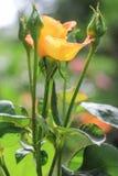 Beautiful yellow handicraft rose. Beautiful yellow handiwork rose on a green background Stock Photos